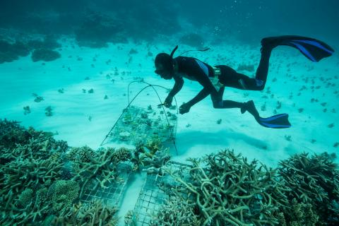 Coral planting
